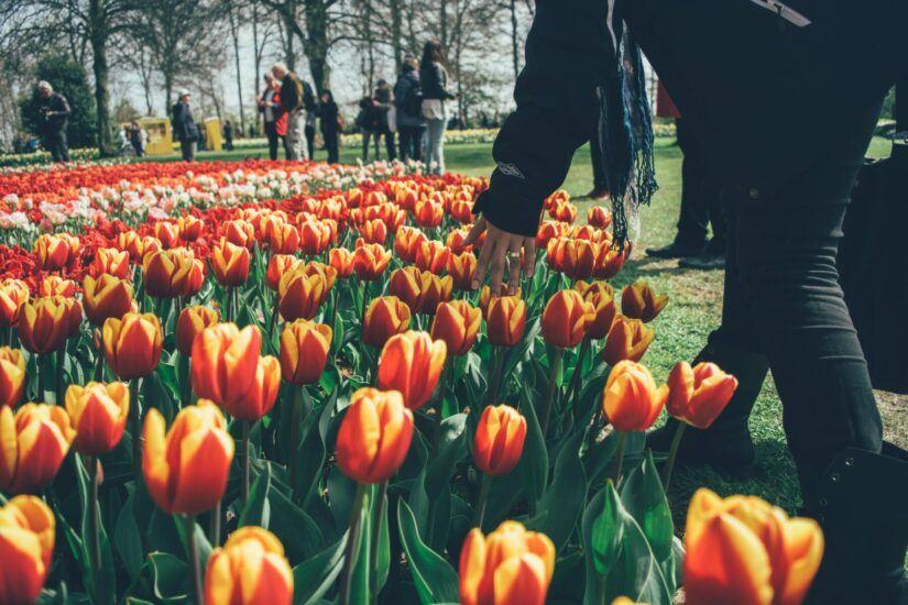 Nederlandse tulpen kindvriendelijke vakantie