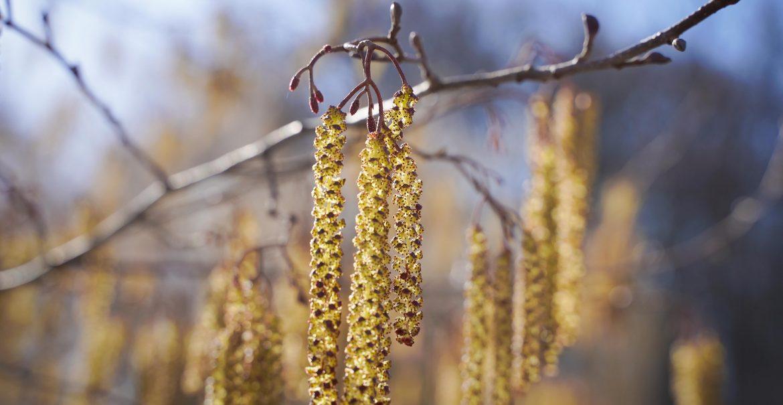 Tips tegen Hooikoorts Gras pollen