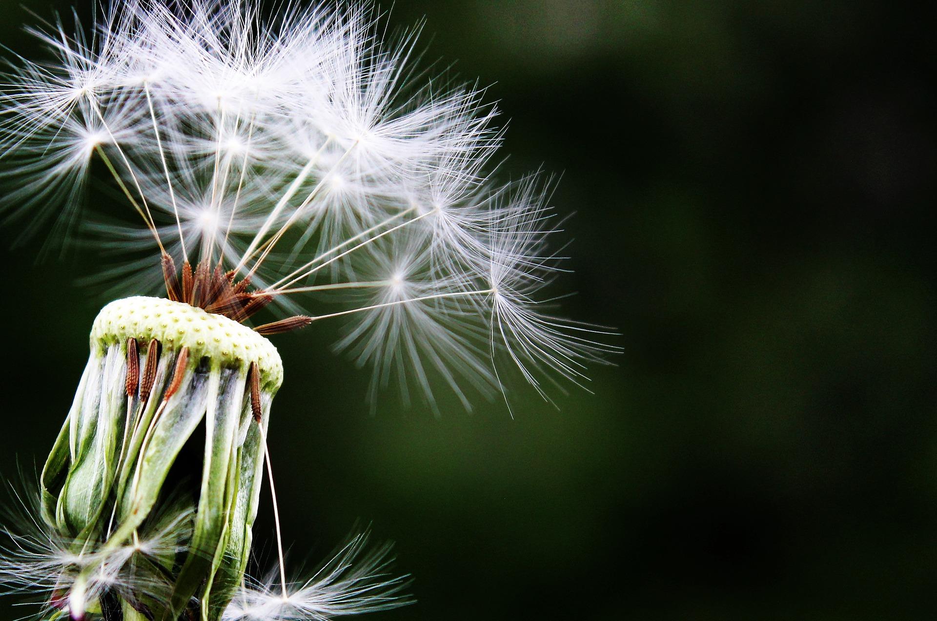 Tips tegen hooikoorts klachten van paardenbloem pollen