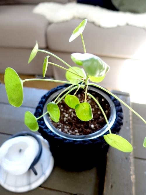 kindvriendelijke planten Pilea peperomioides